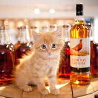 Whiskeh Kitteh Whisky Cat